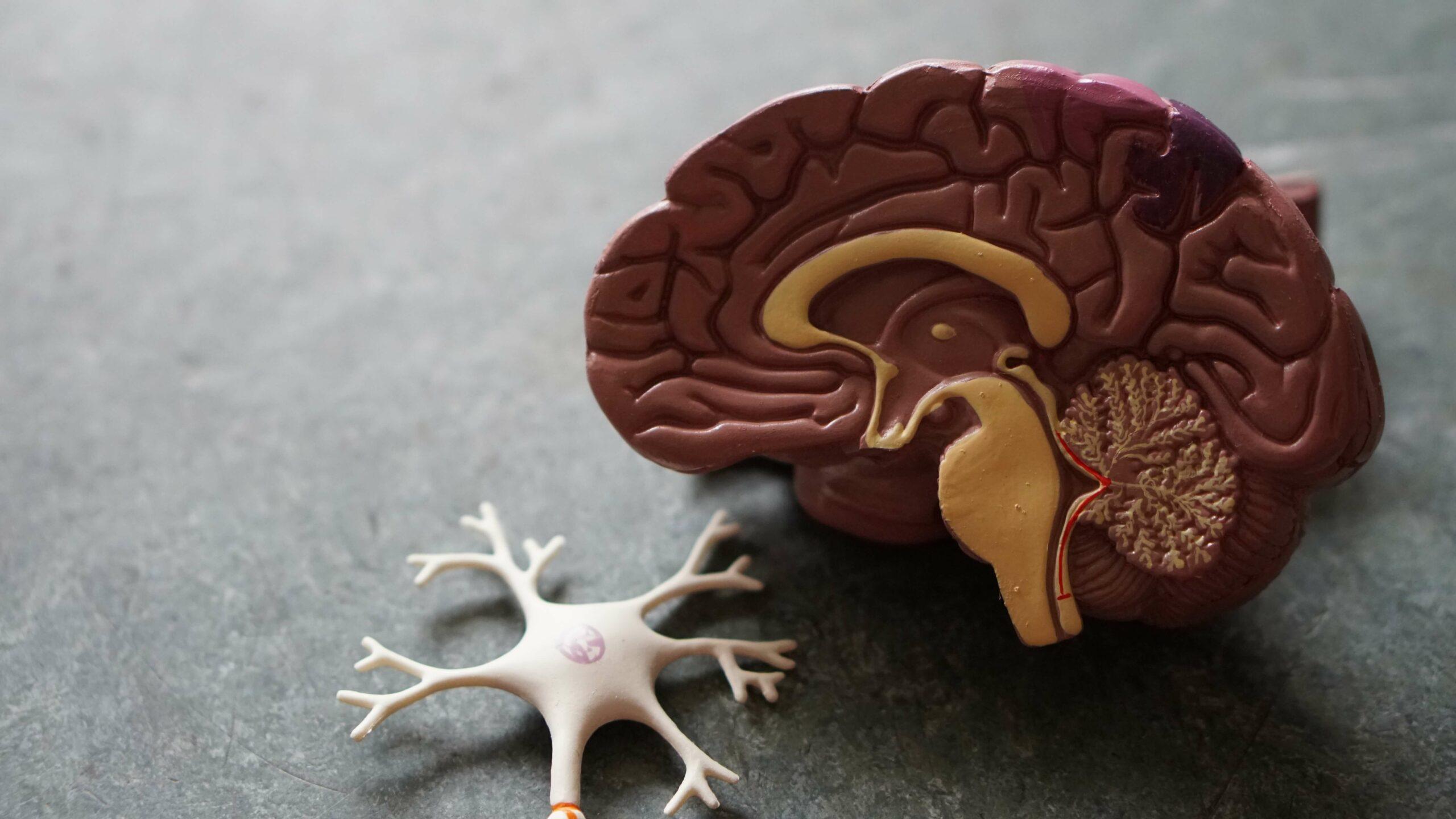 Gehirnmodell Fastentext